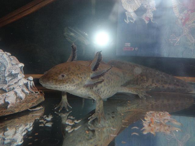 tmavý axolotl